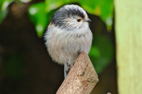 Long tailed Fluffy Tummed Tit.