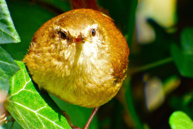 Plump Wren. Or is it fat?