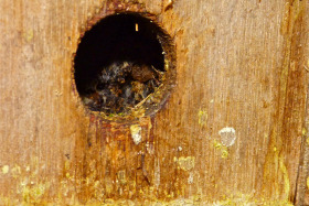 Somebody's raided my tree bees nest box. I suspect a Great Spotted Woodpecker with a sweet beak.