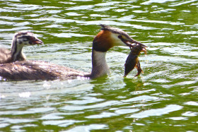 Staple diet of Hampstead Grebes – Crayfish!